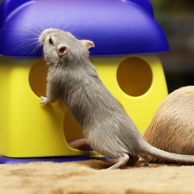 Gerbils: Routine Health Care