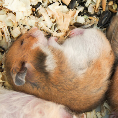 Hamsters: Viral And Bacterial Infections