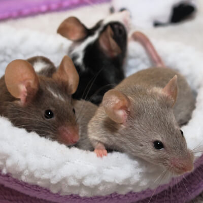 Mice and rats: a history