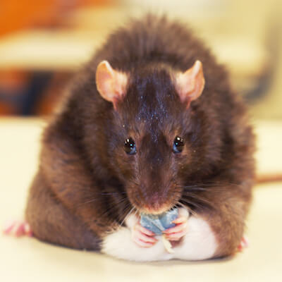 Mice and rats: miscellaneous health problems