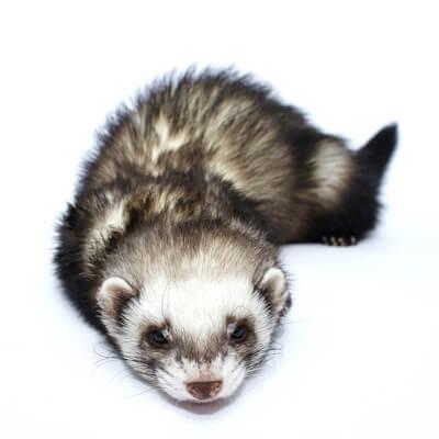 Canine distemper in ferrets