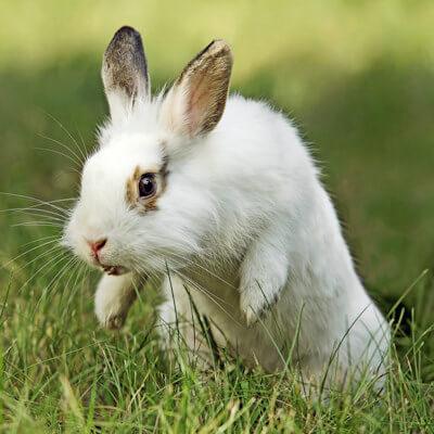 Aggressive rabbits