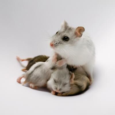 Hamsters: Breeding