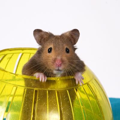 Hamsters: Traumatic Injuries