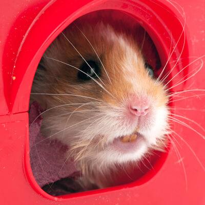 Hamsters: Dental Problems