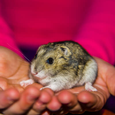 Hamsters: Routine Health Care