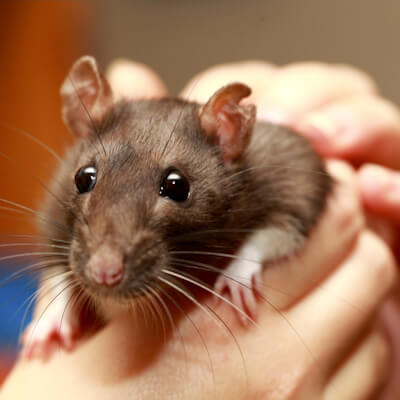 Mice and rats: how to handle