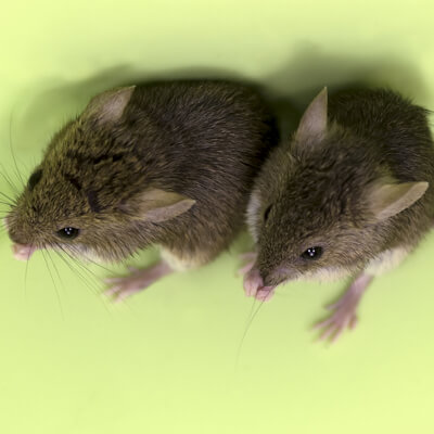 Mice and rats: parasitic diseases