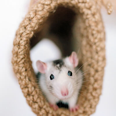 Mice and rats: Tyzzer's disease